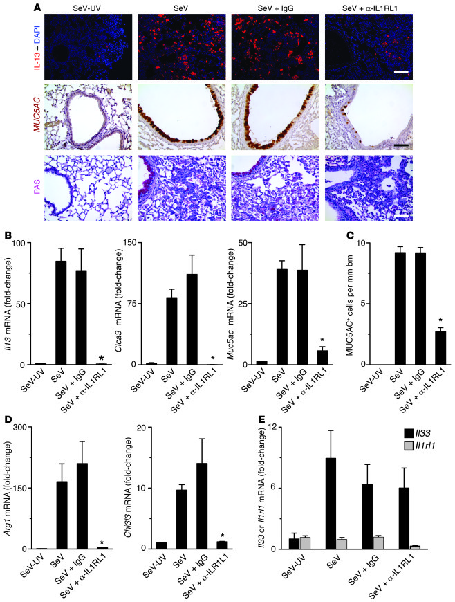 Effect of IL1RL1 blockade in the postviral mouse model. Mice were inocul...