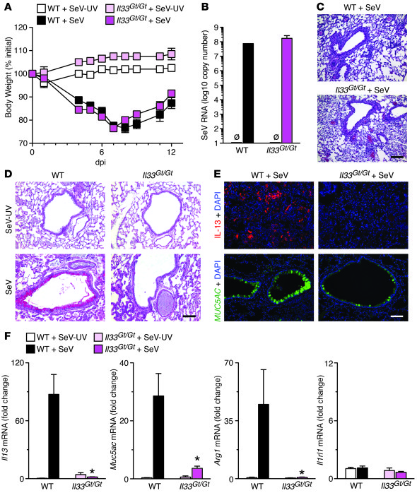 Effect of IL-33 deficiency in the postviral mouse model. Il33Gt/Gt and W...