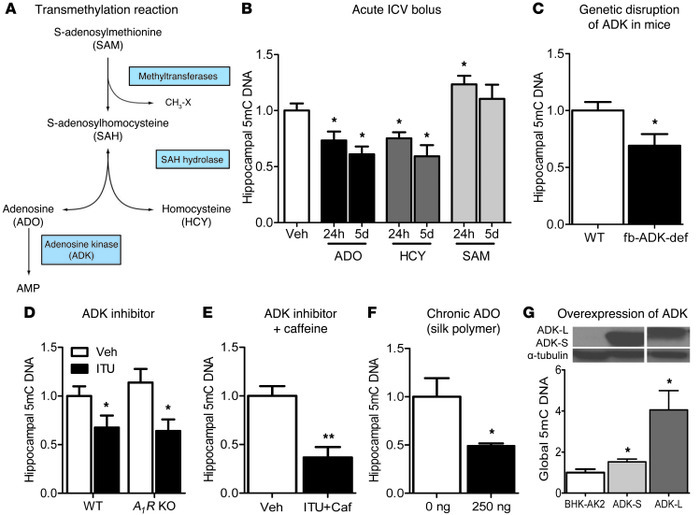 ADO regulates DNA methylation through interference with the transmethyla...