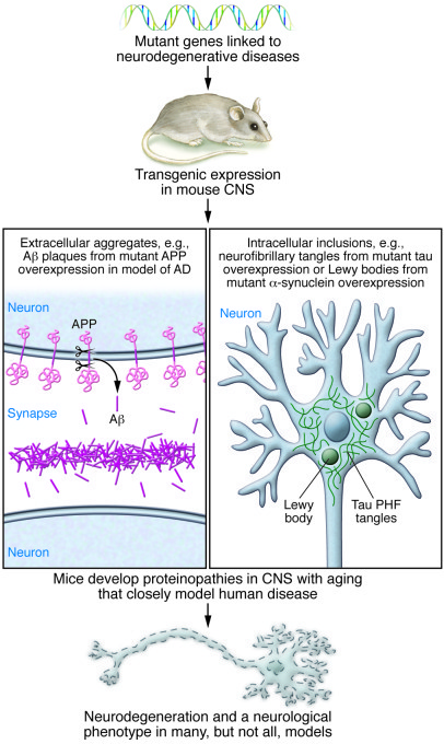 Modeling neurodegenerative proteinopathies in transgenic rodents has pro...