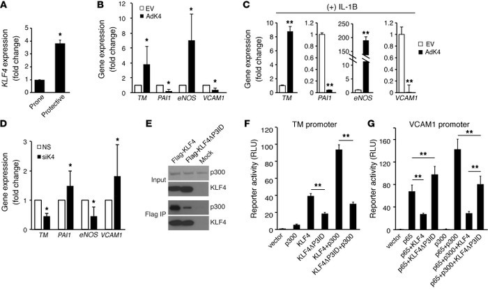 KLF4 regulates endothelial gene expression. (A) KLF4 expression was upre...