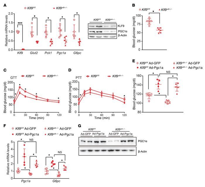 Liver-specific Klf9-deficient mice display decreased fasting blood gluco...
