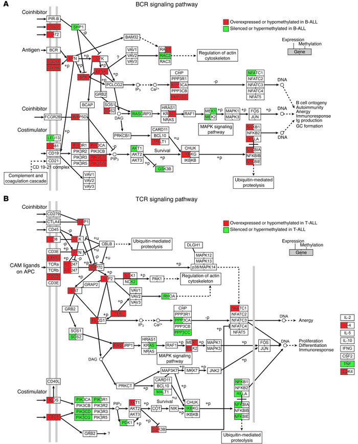 Representation of the BCR and TCR signaling pathways and their regulatio...
