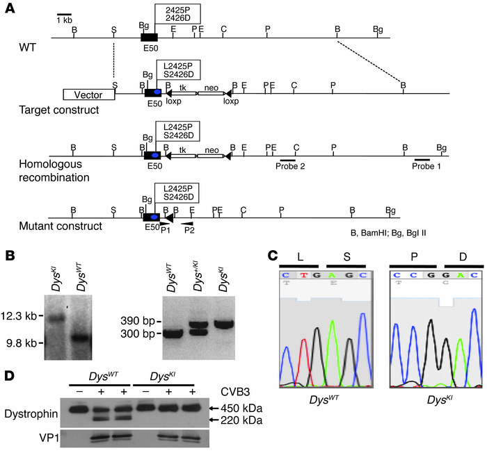 Generation of enteroviral protease 2A cleavage–resistant DysKI mice.   (...