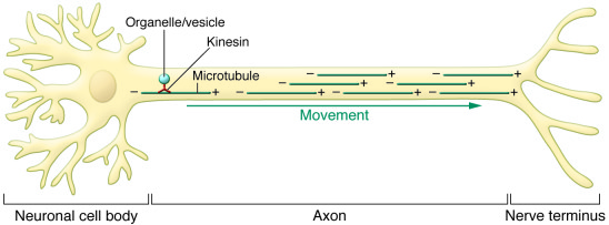Kinesins generate anterograde movement in cells. Fueled by an interest i...