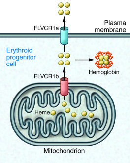 Two isoforms of FLVCR1 may regulate heme levels. FLVCRa isoform had prev...