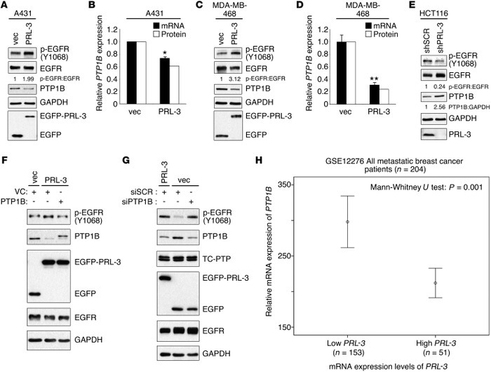 PRL-3 induces EGFR hyperphosphorylation via PTP1B downregulation. (A) A4...