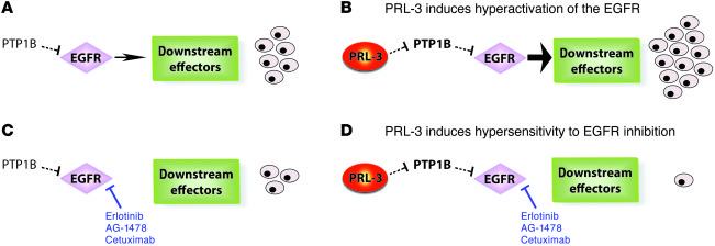 Proposed model of PRL-3–induced oncogenic addiction to hyperactivated EG...