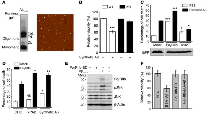 FcγRIIb is required for Aβ neurotoxicity. (A) Characterization of Aβ1-42...