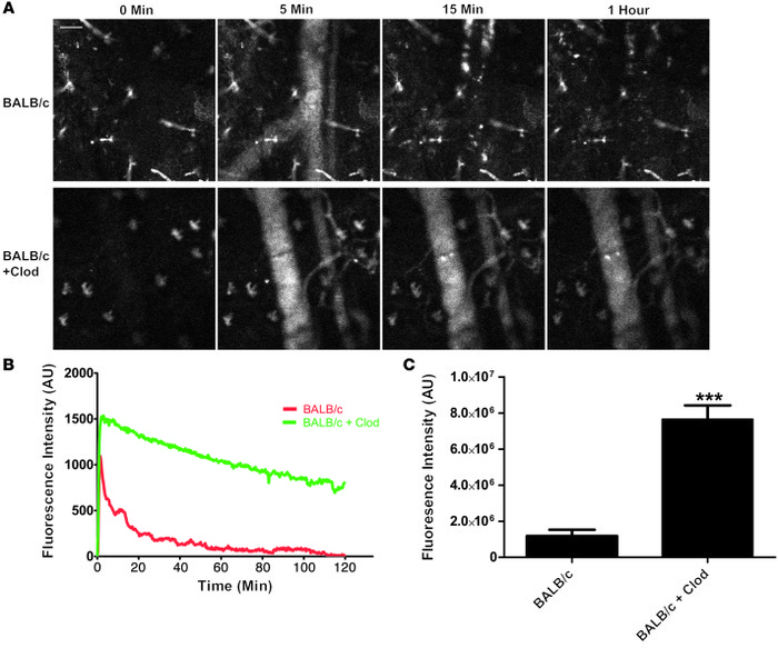 Treatment of BALB/c mice with Clod increases the circulation of nanopart...