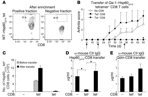 Transfer of Qa-1–Hsp60p216 restricted CD8+ Treg inhibits arthritis.   (A...