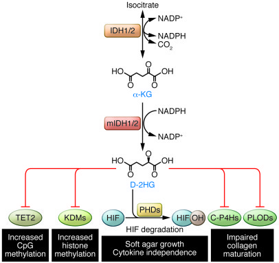 D-2HG produced by mutant IDH1/2 affects metabolism and epigenetics by mo...