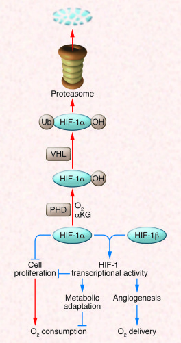 HIF-1 regulates the balance between O2 supply and demand.   In well-oxyg...