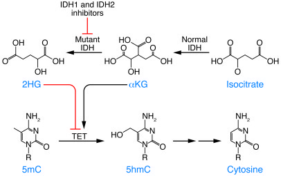Normal IDH functions to convert isocitrate to αKG in the Krebs cycle. On...