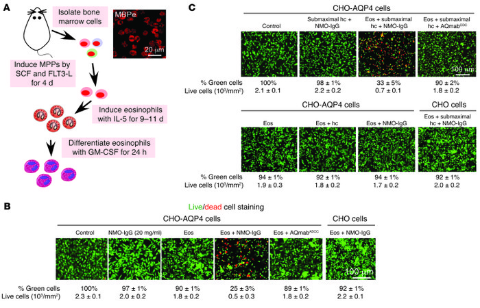 Eosinophils produce NMO-IgG–dependent ADCC and CDCC in cell cultures. (A...