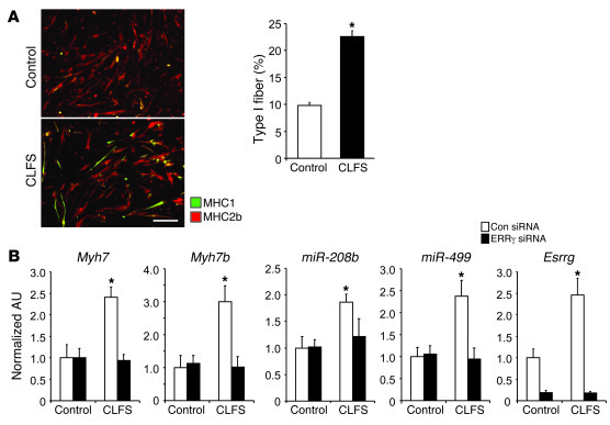 The ERRγ/miRNA circuit is induced by CLFS in skeletal myotubes in cultur...