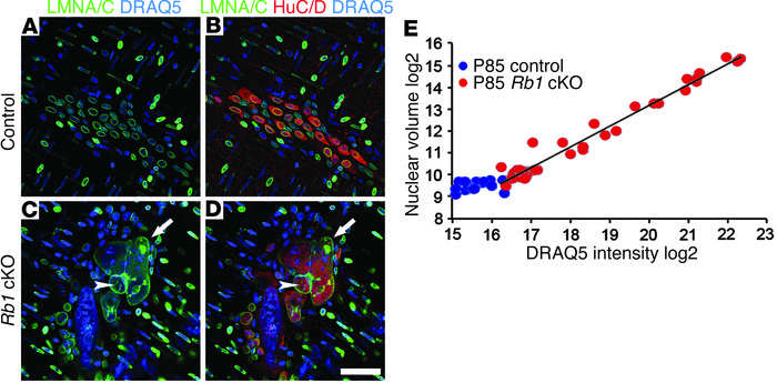Nuclear size correlates with DNA content in myenteric neurons of Rb1 cKO...