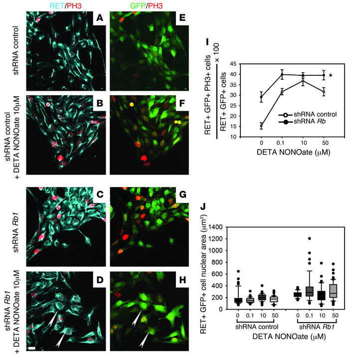 NO donor and Rb1 silencing increased cell cycle entry in ENS precursors....