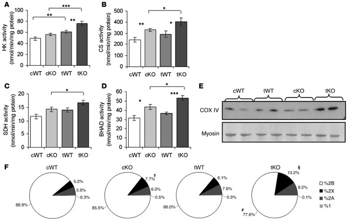 Enhanced response to exercise training in KO mice. Training increased ac...