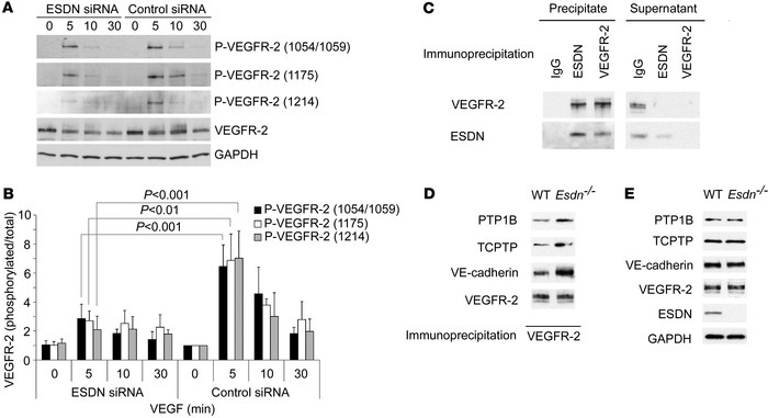 ESDN and VEGFR-2 phosphorylation and complex formation in ECs. (A and B)...