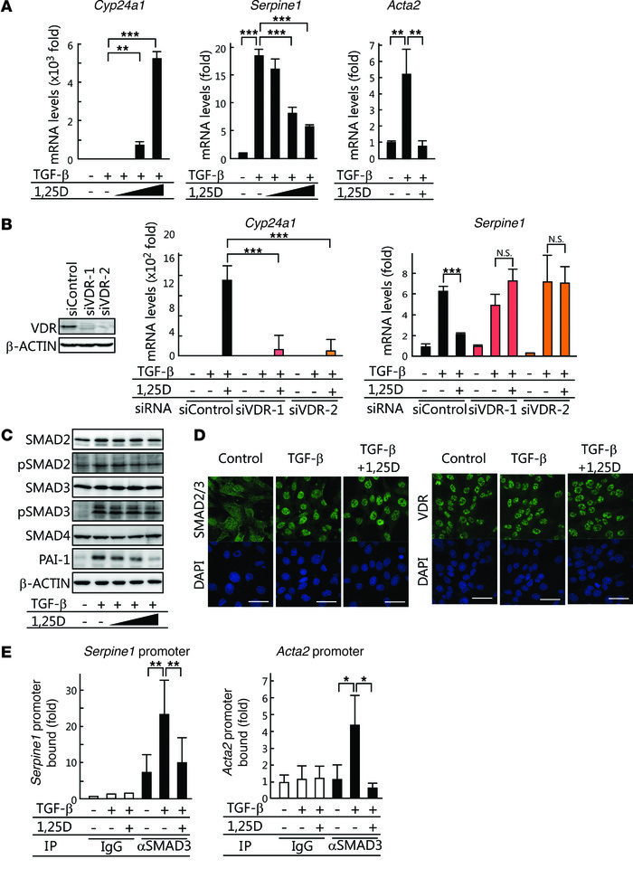 1,25(OH)2D3 inhibits TGF-β–dependent transcription via VDR.   (A) TCMK-1...