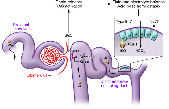 Illustration of the renal expression and functions of mitochondrial TCA ...