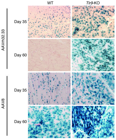LacZ expression in skeletal muscle of WT and Tlr9-KO mice following AAV ...