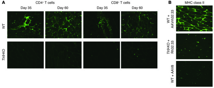Tlr9 deficiency corresponds with minimal cellular infiltrate and blunte...