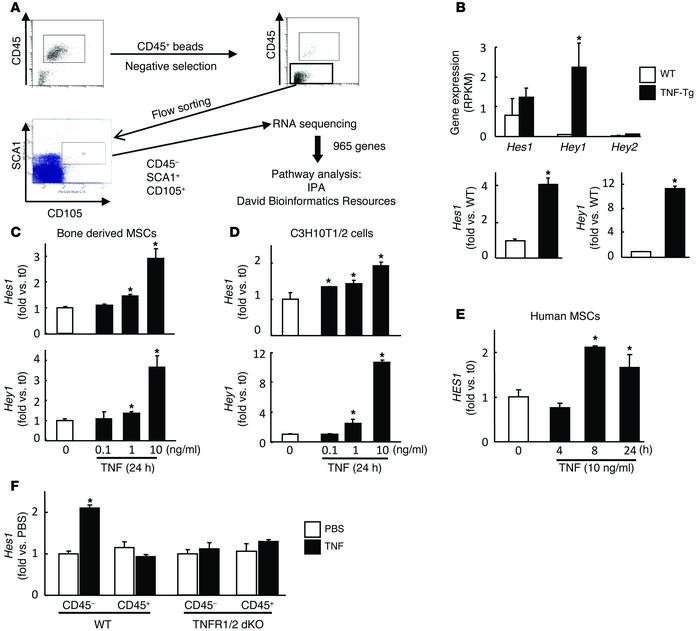 Increased expression of NOTCH target genes in MSCs from TNF-Tg mice and ...