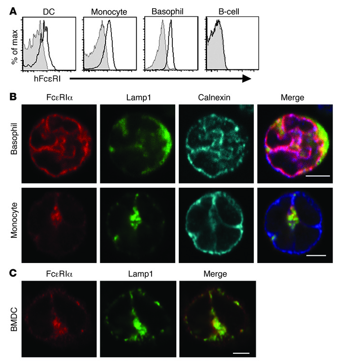 FCER1A-Tg mice express and localize hFcεRI in a similar manner to human...