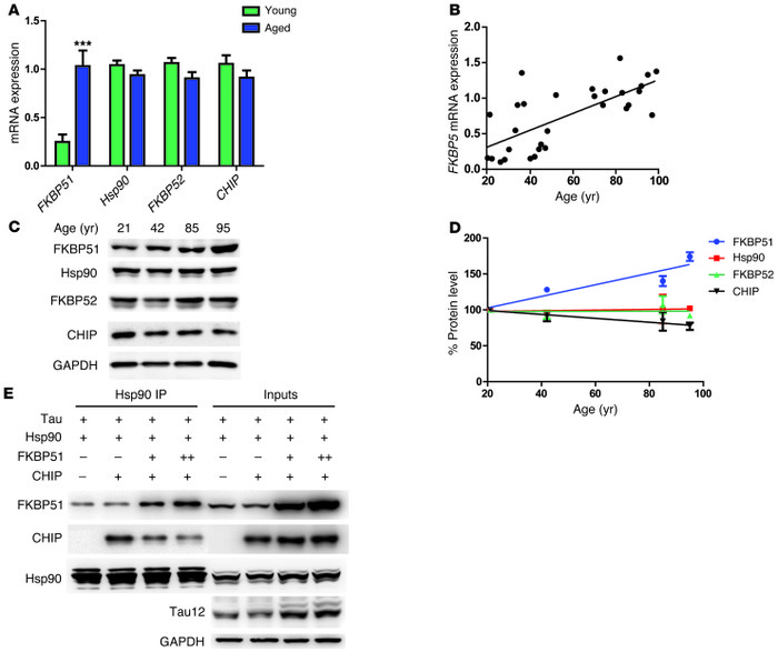 FKBP51 expression increases with age, altering Hsp90 complexes. (A) Aver...