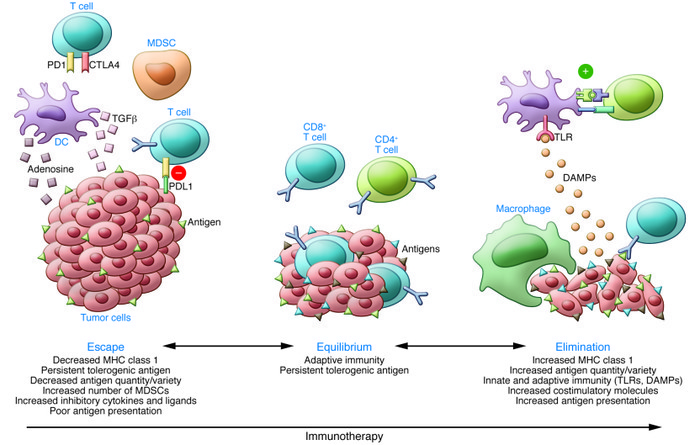 Immunotherapy and the cancer immunoediting hypothesis. In the immunoedit...