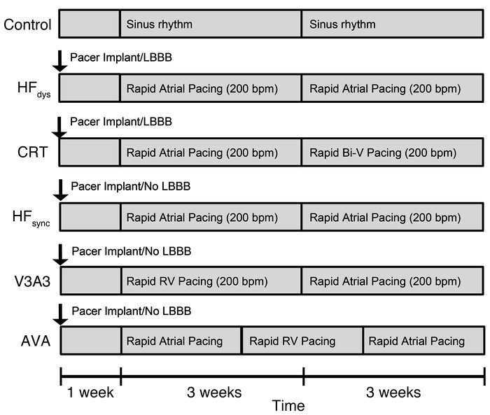 Timeline of pacing protocols in each of the canine models: control, HFdy...