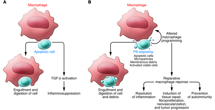 Responses of macrophages to recognition of apoptotic cells. (A) The anti...