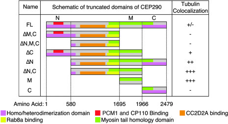 Schematic of CEP290 truncations. Scale representations of the CEP290 tru...