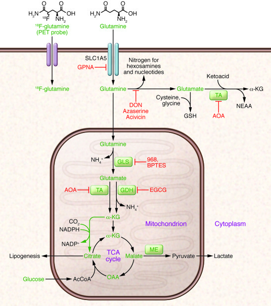 Glutamine metabolism as a target for diagnostic imaging and therapy in c...
