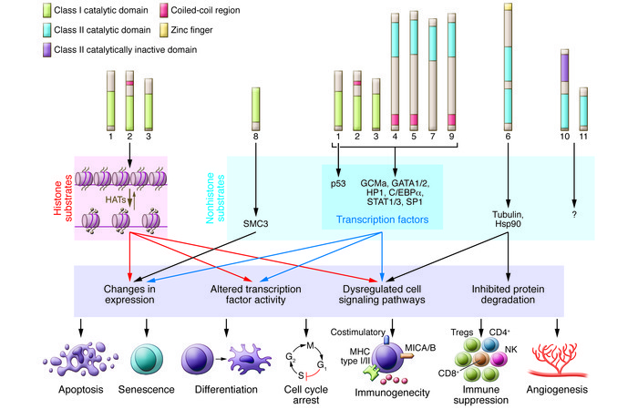 The molecular targets of HDACs, downstream cellular pathways, and antica...