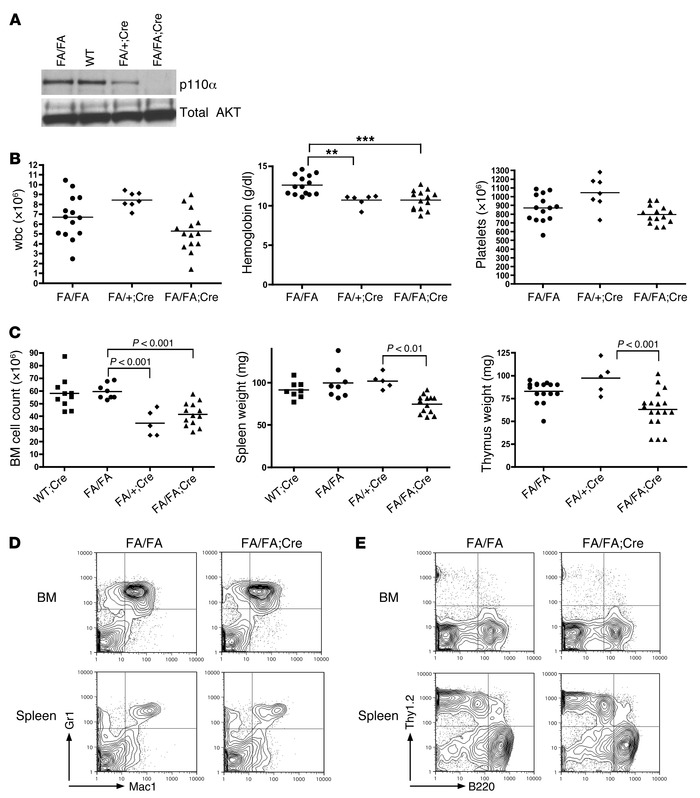 HSC-specific deletion of p110α has minimal effects on hematopoiesis. (A)...