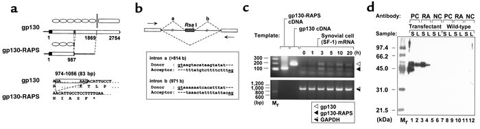 Schematic representations of gp130-RAPS cDNA and its partial genome stru...