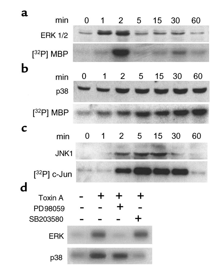 C. difficile toxin A activates ERK 1/2, p38, and JNK1 in THP-1 monocytic...