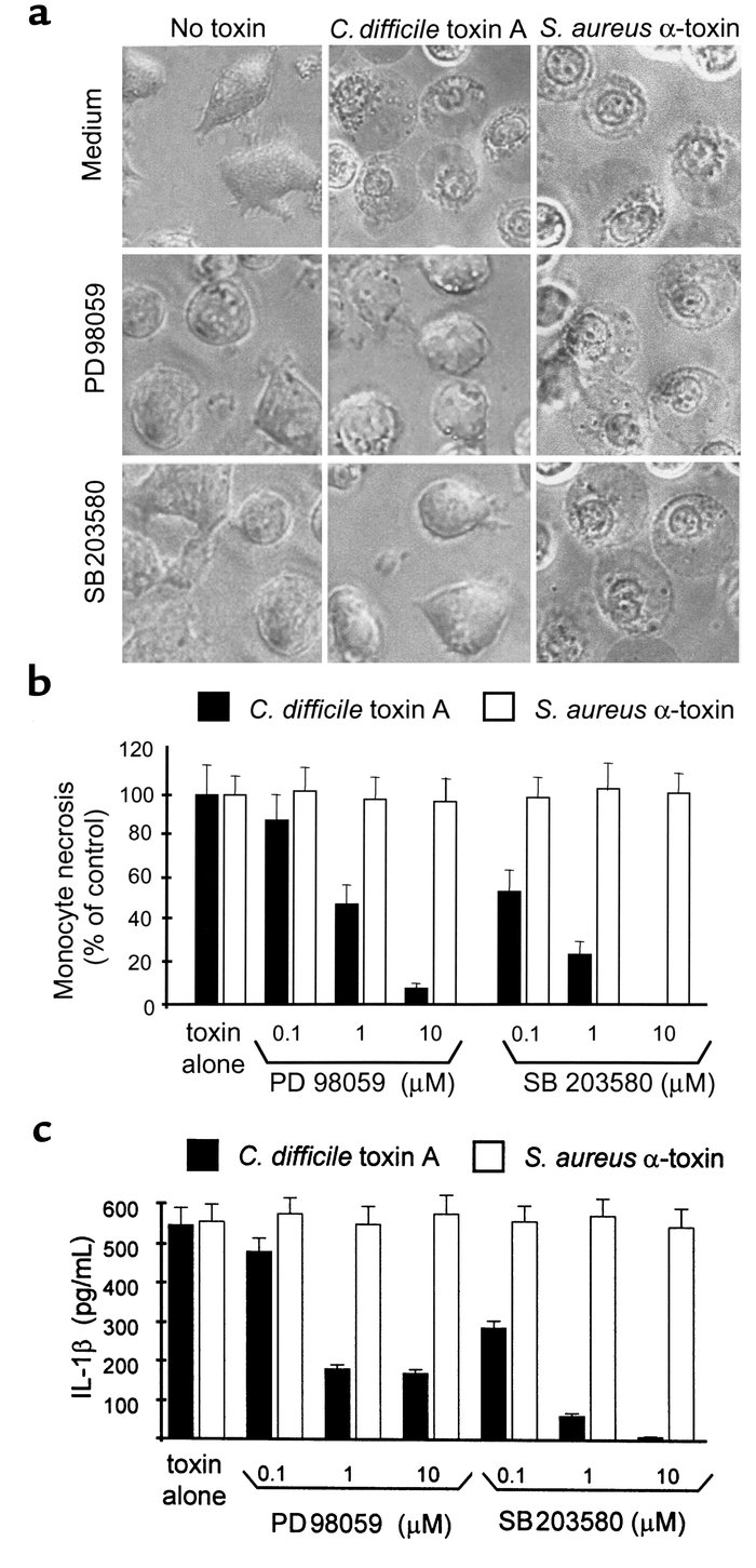 The ERK and p38 pathways mediate monocyte necrosis and IL-1β release ind...