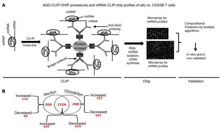 AGO-CLIP-ChIP procedures and mRNA CLIP-ChIP profiles of Allo T versus CD...