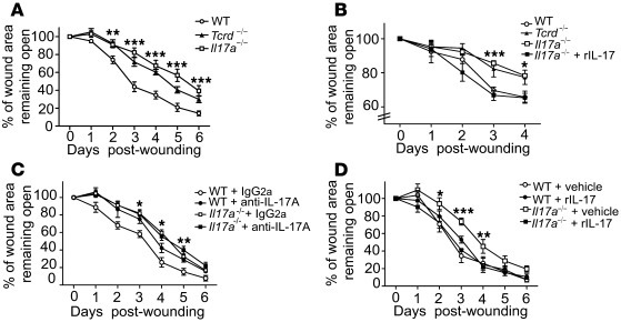 Local IL-17A production is critical for wound healing. (A) Il17a–/– mice...
