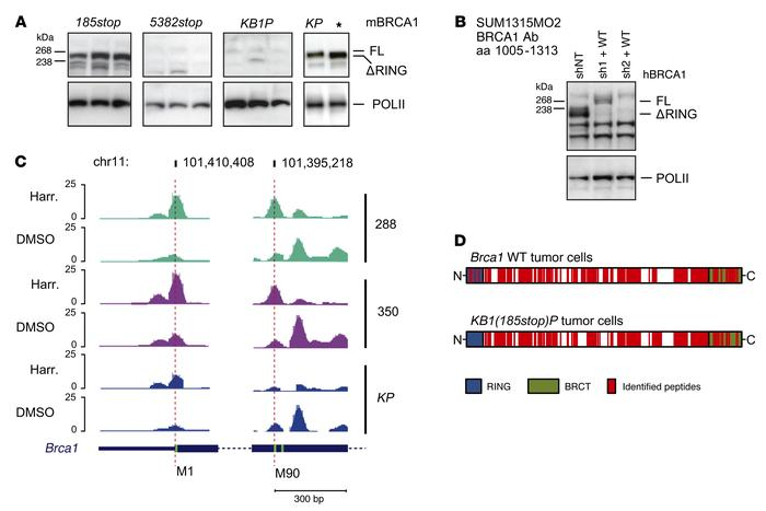 RING-less BRCA1 expression in mouse and human BRCA1185delAG tumor cells....