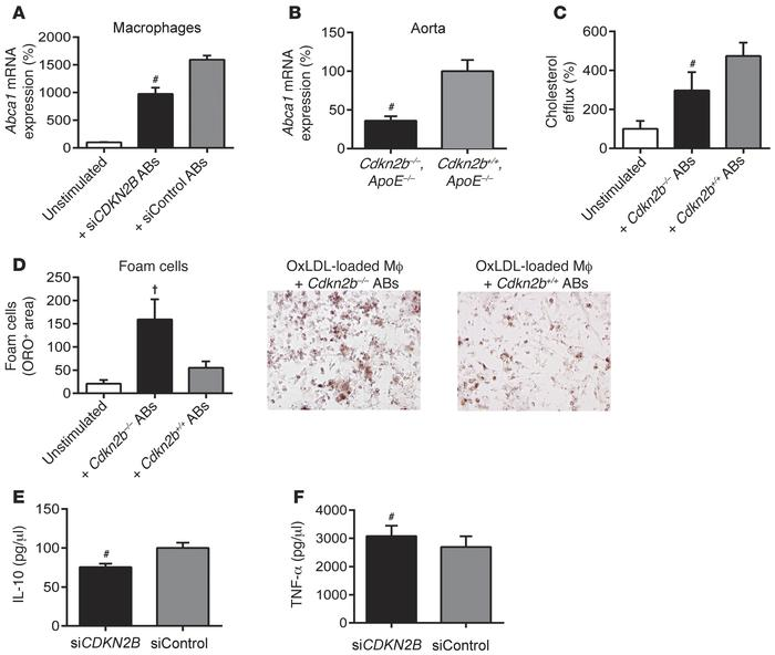 Macrophage biology is perturbed by interactions with apoptotic CDKN2B-de...