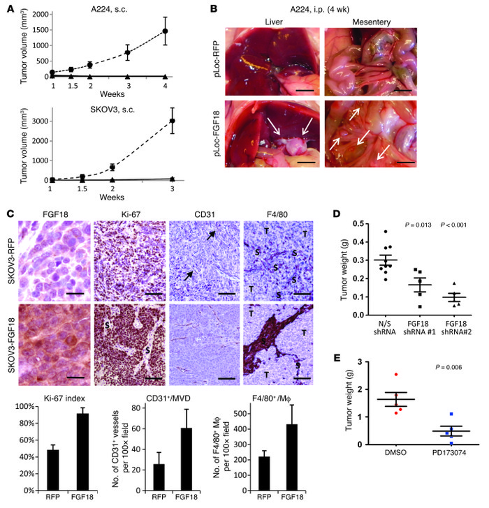 Oncogenic effects of FGF18 on ovarian cancer cells in vivo. (A) Ectopic ...