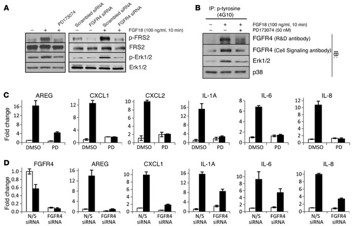 Identification of signaling events contributing to the effect of FGF18 o...