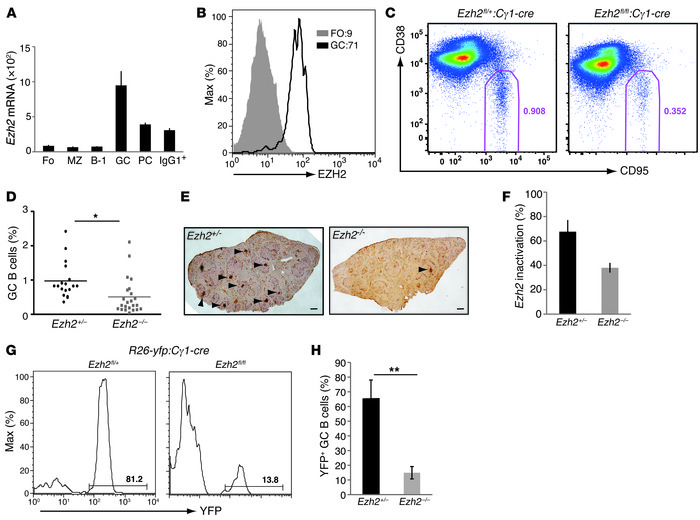 EZH2 is upregulated in mouse GC B cells and required for GC formation. (...