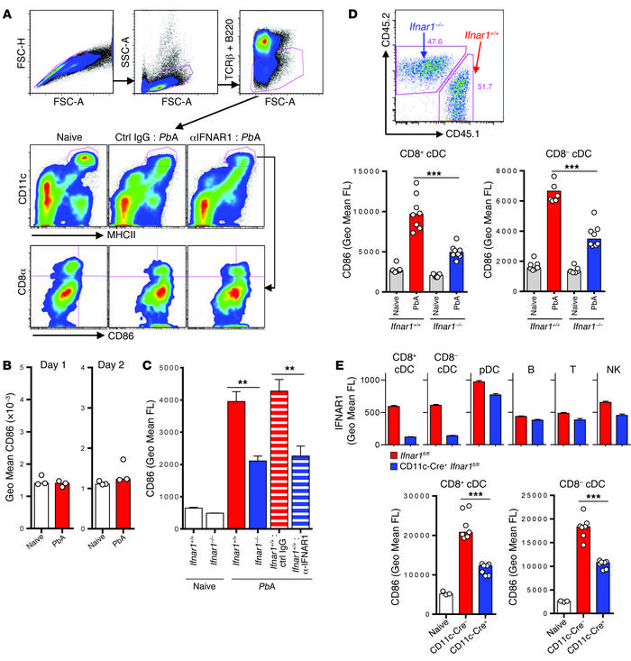 Type I IFN signaling directly mediates systemic activation of splenic cD...