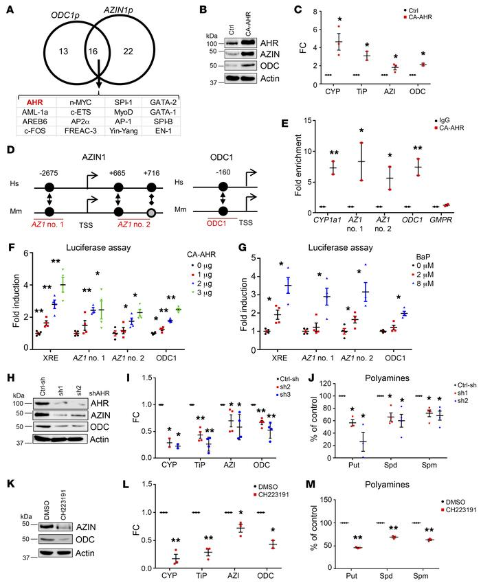 AHR controls ODC1 and AZIN1 transcription. (A) Predicted transcription f...